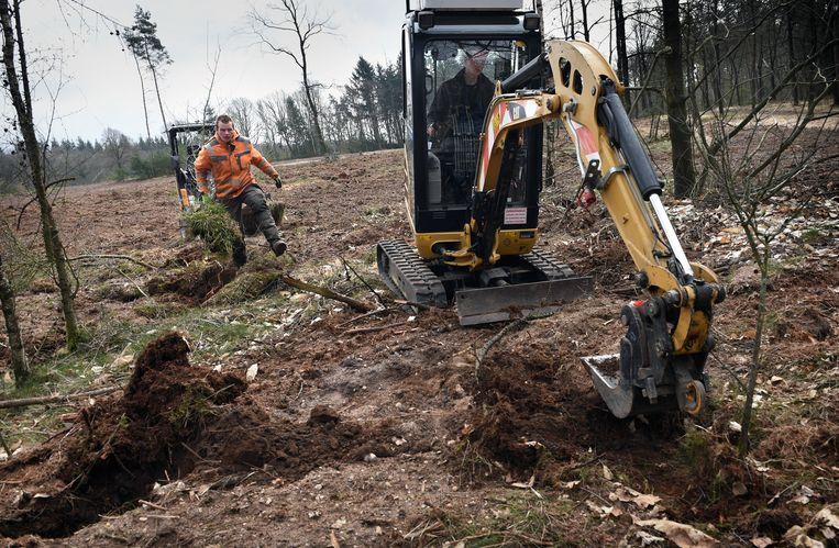 Aanplant van nieuwe boompjes in de Mookerheide.  Beeld Marcel van den Bergh / de Volkskrant