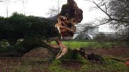 Plantentuin verliest monument: 170 jaar oude beuk omgevallen