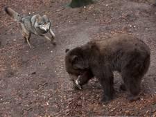 Ouwehands Dierenpark zoekt wolven die met beren kunnen leven