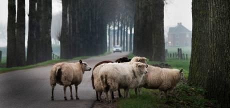 Pas op: schapen lopen  vaker op de weg door droogvallende sloten