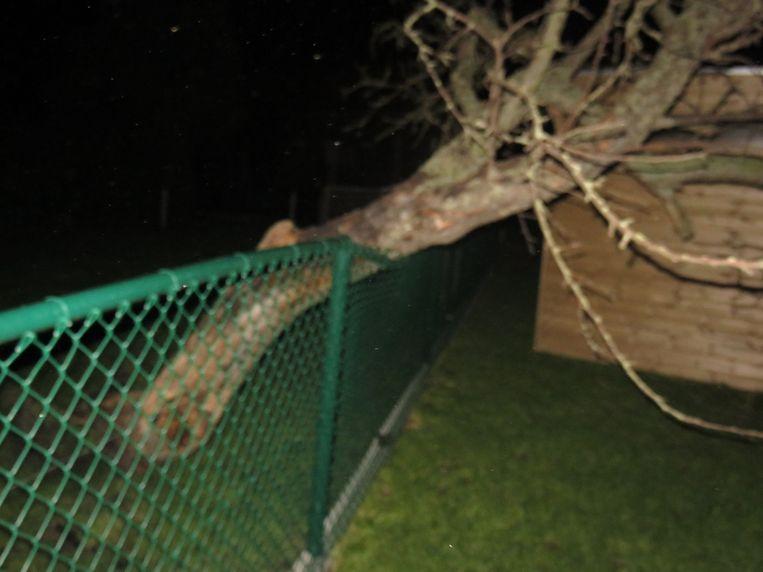Een omgewaaide boom in Bredene.