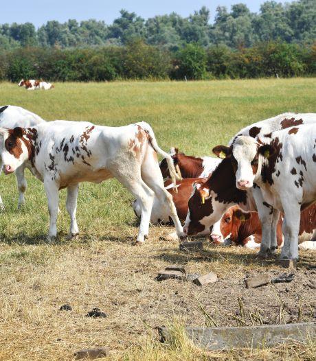 Al 180 meldingen over koeien die zonder beschutting in de hitte staan