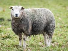 'Geslacht schaap' drijft in sloot Westmaas