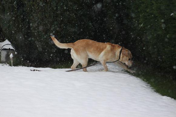 Brugge sneeuw hond