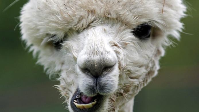 zes alpacas uit kinderboerderij gestolen binnenland adnl