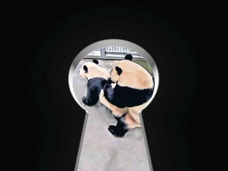 Droom komt uit voor pandaverzorgers in Rhenen: 'Ik was ontroerd. Het is zó mooi om te zien'