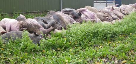 Haaren berispt varkenshouder wegens niet melden massale dood dieren