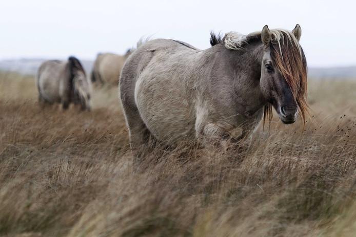 De groep konikpaarden in natuurgebied De Slufter. De dieren zijn overgebracht uit het Oostervaardersveld, waar onvoldoende ruimte en voedsel voor hen was.