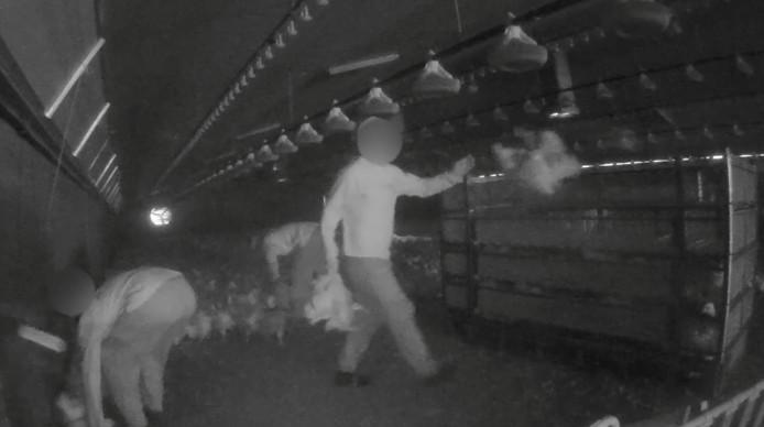 De kuikens komen onder containers terecht, worden geschopt, op een ruwe manier gevangen en dan hardhandig in containers gegooid.