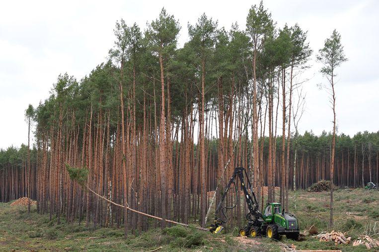 Bos wordt gekapt in Grünheide om ruimte te maken voor de eerste Europese fabriek van Tesla.  Beeld EPA