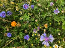 Hof van Twente gaat 35 kilometer bloemrijke akkerranden aanleggen