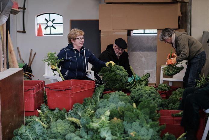 De vrijwilligers van schutterij St. Isidorus bezig met de laatste keer oogsten voor de voedselbank.