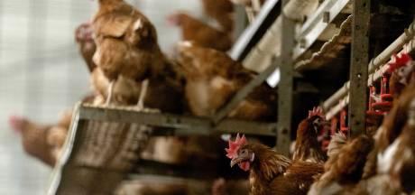 Wernhout verlost van dreiging Vlaamse kippen