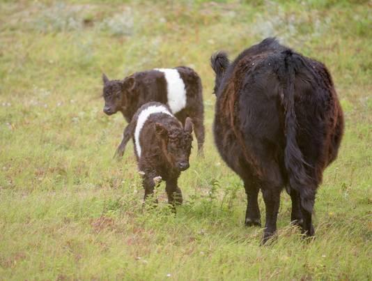 Voorlopig blijven de kalfjes nog bij hun moeder in de buurt.