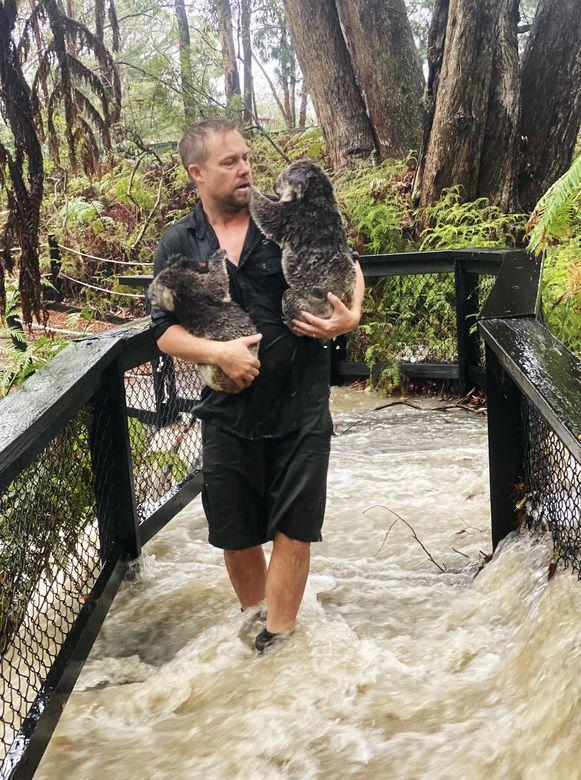 Het Australian Reptile Park  in Somersby werd vandaag eveneens verrast door plotse overstromingen. Een medewerker moest enkele koala's evacueren.