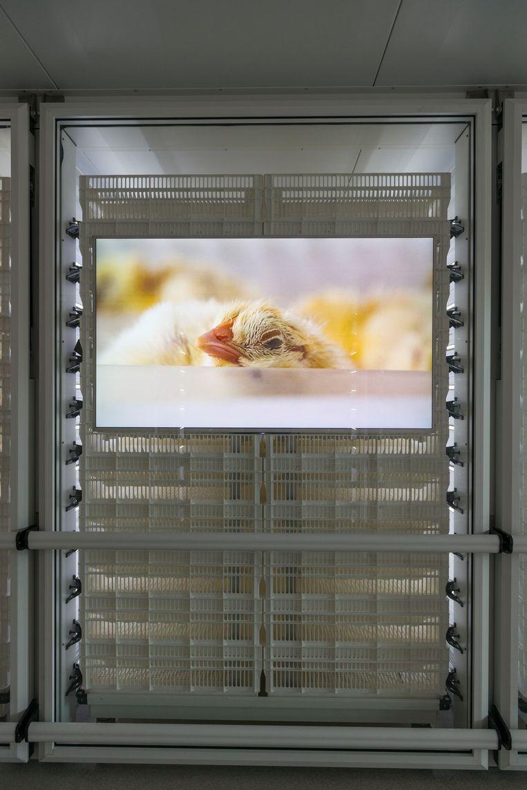 HatchTech ontwikkelde een systeem dat kuikens direct na uitkomst toegang geeft tot voedsel en water. Beeld Eva Faché