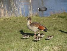 Droogte drijft meer ganzen naar  waterrijk Prinsenland