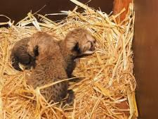 Tweeling jachtluipaarden geboren in Safaripark Beekse Bergen