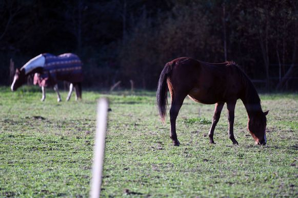 De twee paarden die werden aangevallen.