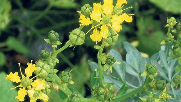 Allergie Planten Huid : Pijnlijk getroffen door lieflijke bloemen trouw