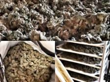 Hennepdrogerij ontdekt in Veenendaal, politie vindt kilo's aan toppen