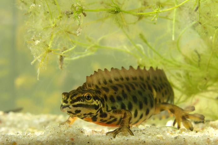 De kleine watersalamander  komt ook in vijvers voor.