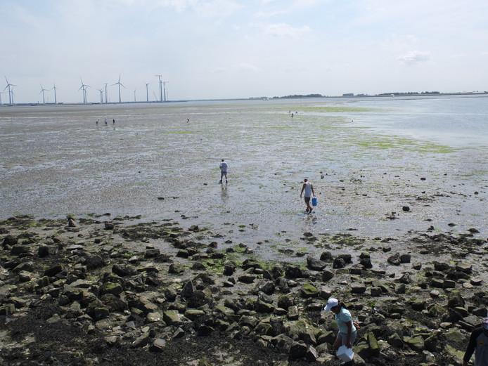 Mensen rapen oesters aan de Grevelingendam bij Bruinisse.