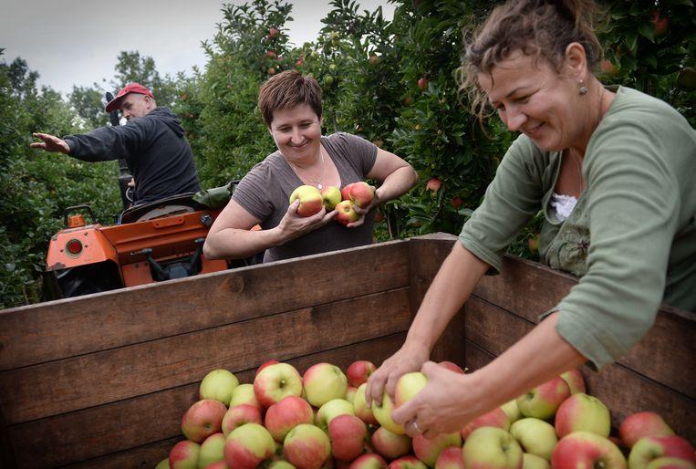 Poolse seizoenarbeiders aan het werk in het Gelderse Puiflijk. Beeld Marcel van den Bergh / de Volkskrant