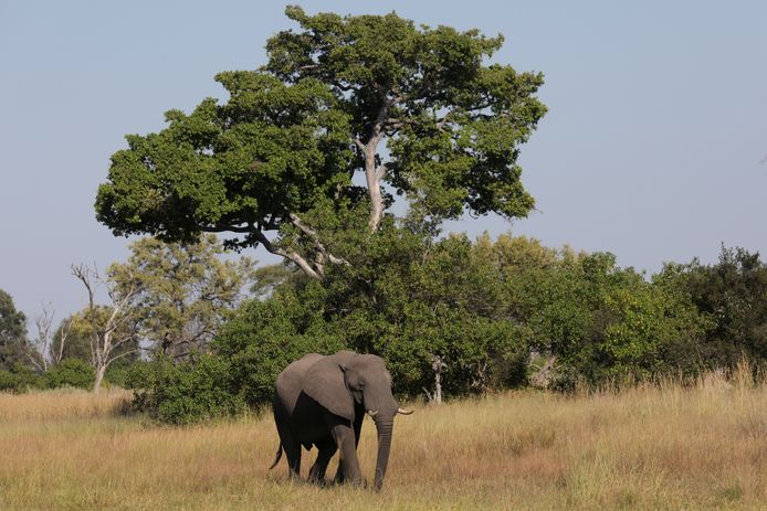 Een jonge olifantenstier in de Okavangodelta in Botswana.