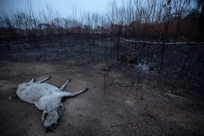 Ook vee stikt in de rook of verbrandt, hier in Porto Velho, Bazilië.