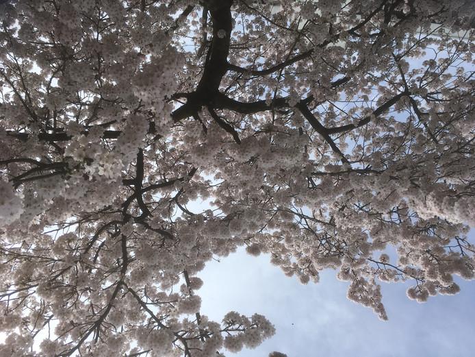"""Carla Willemse maakte deze foto van een boom in de Snoekenveen in Spijkenisse. ,,Hij staat in iemands voortuin. De boom is zooo mooi!"""""""