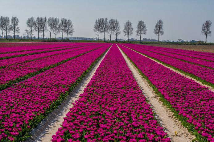 Tulpenvelden op Goeree-Overflakkee.