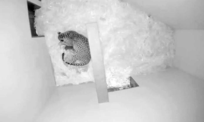 De panter met haar jongen in het verblijf in Burgers' Zoo.