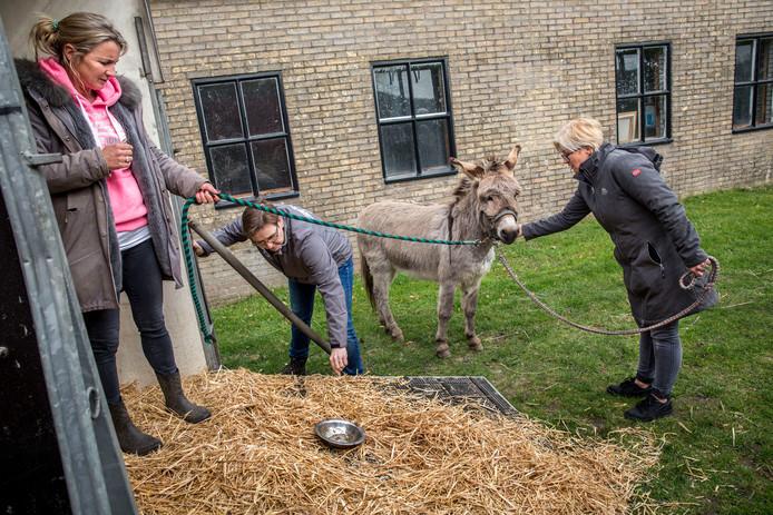 De eerst schuwe ezel Piet is de afgelopen tijd goed opgeknapt in Drenthe. Hij en zijn nieuwe vriendje komen binnenkort terug naar Oud-Beijerland.
