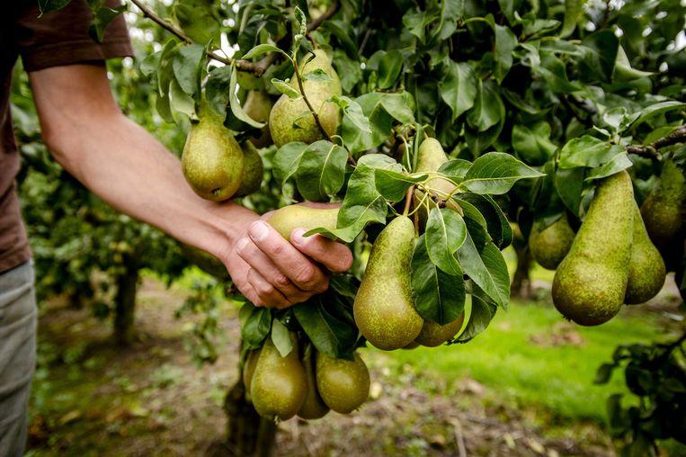 De regering gaat het aantal dagen dat een seizoensarbeider in de fruitteelt mag werken optrekken van 65 dagen naar 200 dagen in 2020 en naar 100 dagen vanaf volgend jaar.