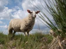 Ochtense boer mocht weiland ophogen om schapen te redden; provincie verliest rechtszaak
