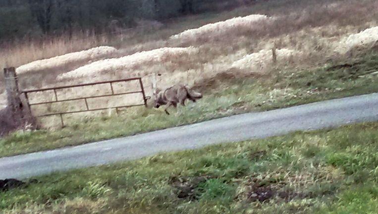 Een wolf loopt langs de N381 ter hoogte van Noord-Sleen, bij Emmen. Het is ongeveer 150 jaar geleden dat het dier voor het laatst in het wild in ons land is gezien. Beeld anp