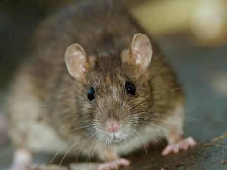Ratten zorgen voor overlast in Arnhemse Spijkerkwartier