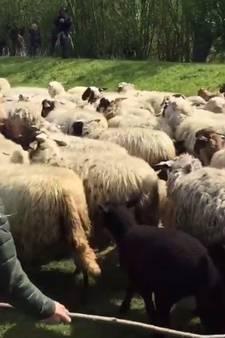 Jeugdige herders houden 300 schapen op het droge
