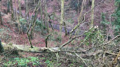 Zeventiger wordt tijdens snoeiwerken op helling meegesleurd door metershoge boom: slachtoffer zwaargewond naar ziekenhuis