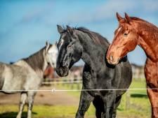 Paardenconcoursen en lessen in hele Achterhoek afgelast door dreiging rhinovirus: 'Vermijd neus-tot-neuscontact'