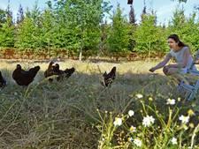 De kip als alternatief voor chemisch onkruidmiddel