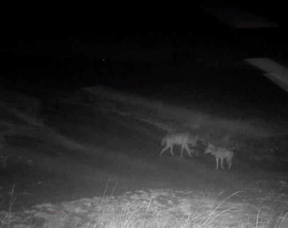 Agentschap voor Natuur en Bos kon het nieuwe wolvenkoppel samen filmen.