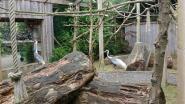 Witnekkraanvogels delen voortaan verblijf met ringstaartmaki's in De Zonnegloed