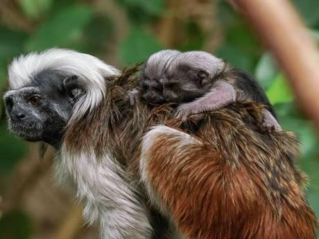 Snoezig: eerste beelden van piepkleine pinché-aapjes in Blijdorp