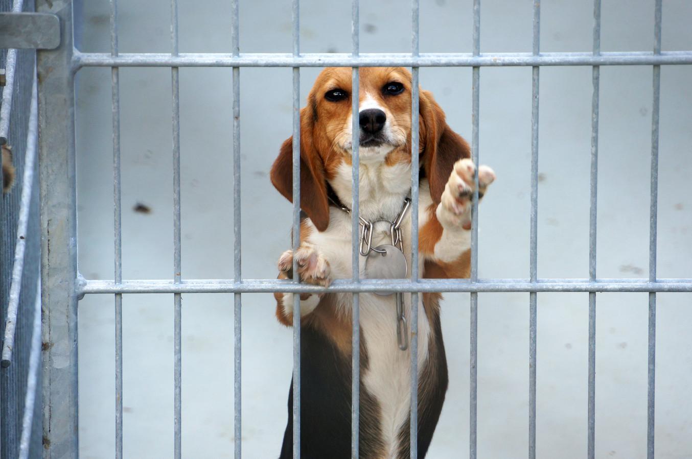 Beagle-honden worden veel voor dierproeven gebruikt. Foto uit Duitsland.