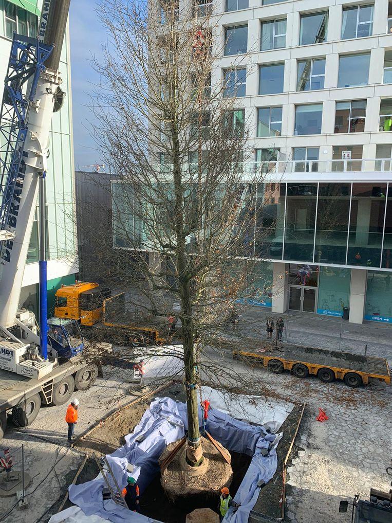 Het was een huzarenwerkje om de boom op Turnova te planten.