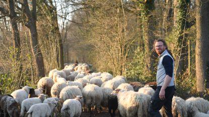 Herentse schaapherder trekt met zijn kudde rond om buurt te animeren