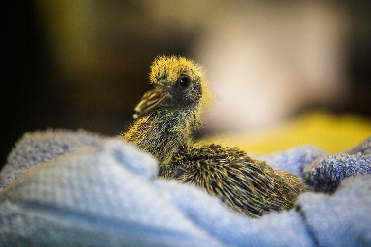 Een jonge duif verblijft in het VOC.