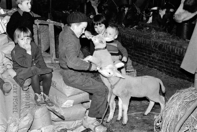 Onder andere Rina, Cisca, Riet, Wim en Jan van gezin Van Dorst (uit de Groote Woordstraat Haren) bij de schapen in de stal. Jan (in overall en gezeten op zakken van CHV uit Veghel) geeft de fles aan twee lammetjes.